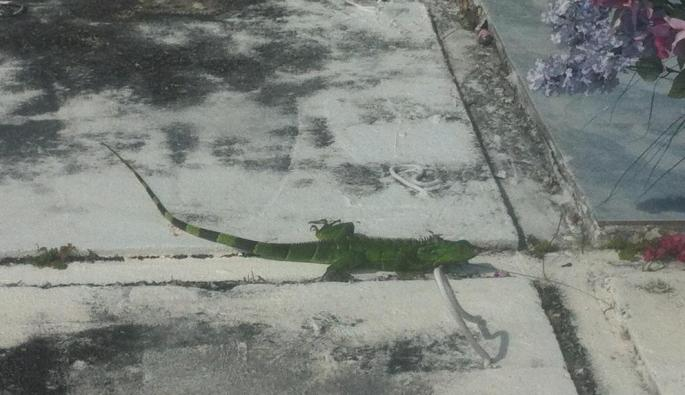 A green iguana on a tomb in the cemetery at Cemetery Beach, Grand Cayman.