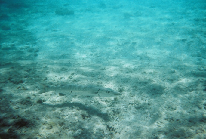 This was taken at Great Stirrup Cay, Bahamas of a fairly well-hidden Barracuda that was about three feet long.