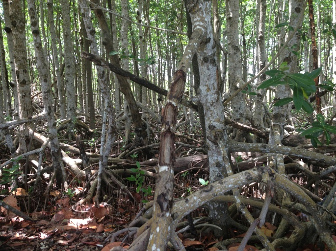 Pretty impressive mangroves were in abundance.
