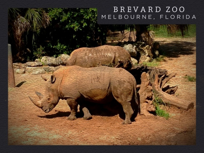 The rhinos were close enough to observe them very well at the Brevard Zoo near Melbourne, Florida.