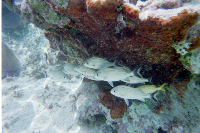 A nice reef shot of a school of tropical fish in our off-shore beach snorkeling at the Corona Beach Club, Cozumel, Mexico.