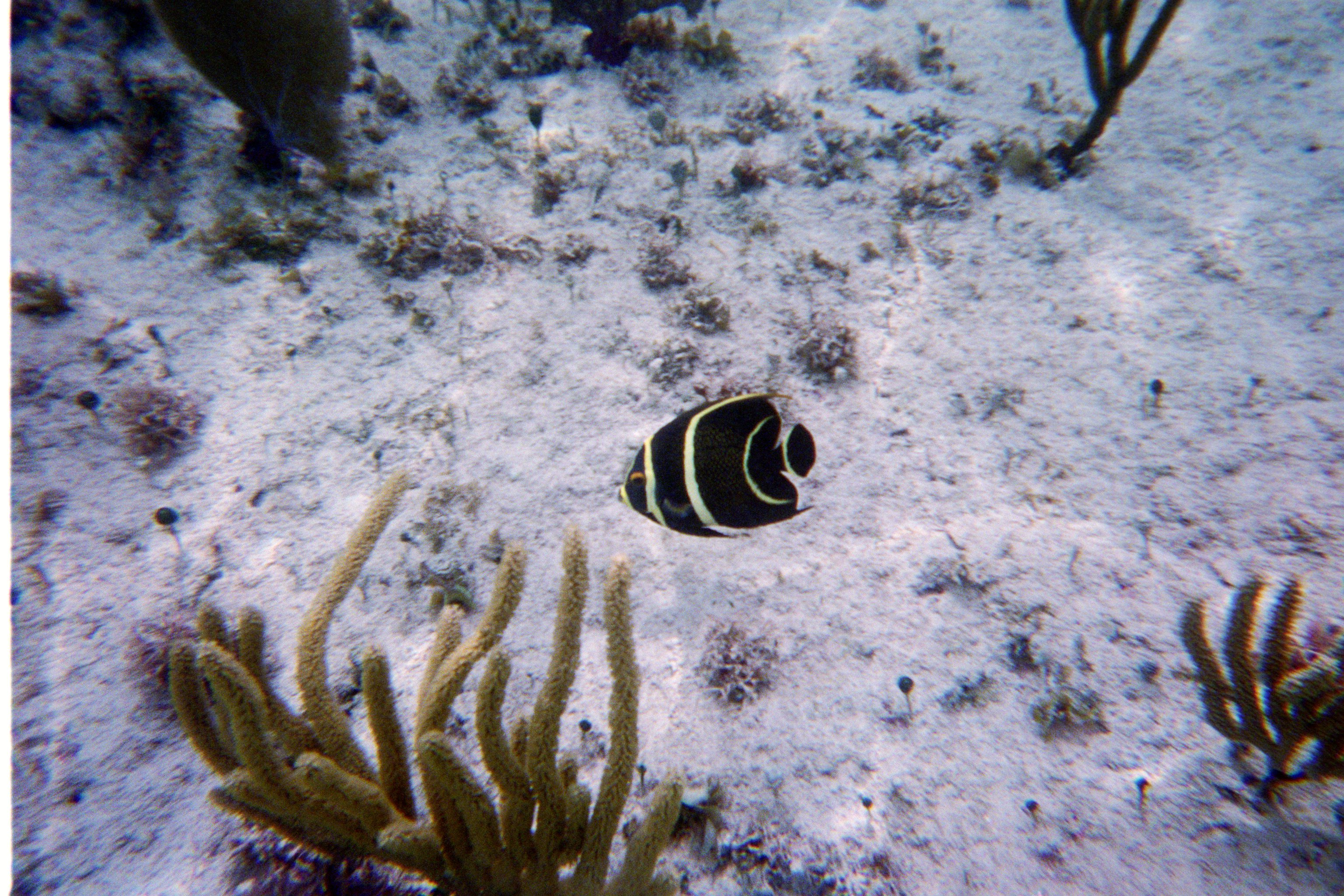 A Beautiful Little Black And Yellow Striped Fish Snapped By Our Underwater Camera While Snorkeling At