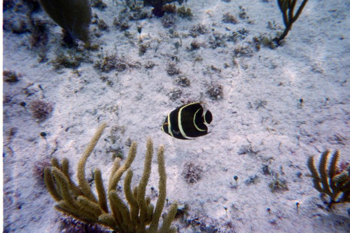 A beautiful little black and yellow striped fish snapped by our underwater camera while snorkeling at Corona Beach, Cozumel, Mexico.