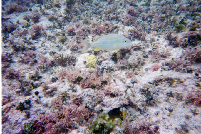 You really can see some of the coral and plant life in this shot.  There were large schools of these fish in several locations off Corona Beach, Cozumel, Mexico.