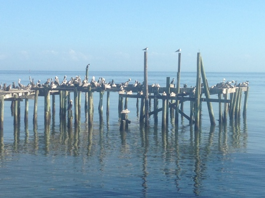 Pelicans rest on old pilings at Cedar Key, Florida.