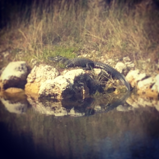 This alligator was sunning itself on the other side of the small pond near our campsite at Trails End Campground in Ochopee, Florida.