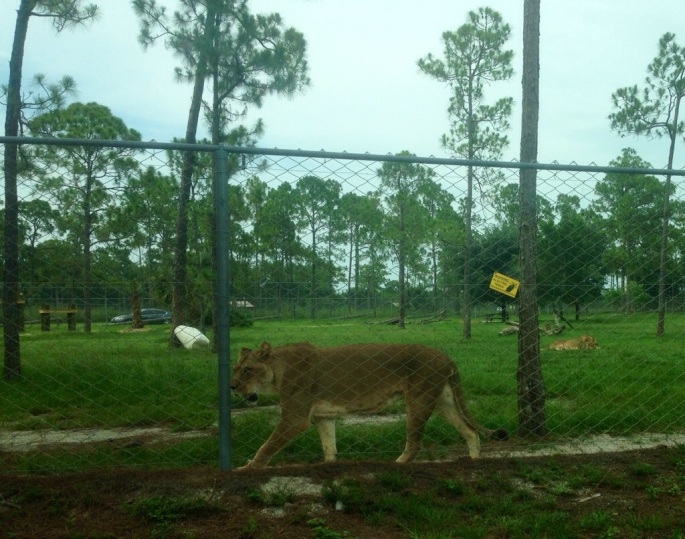 Lions are right by your car as you drive through the safari at the Lion Country Safari in Palm Beach County, Florida.