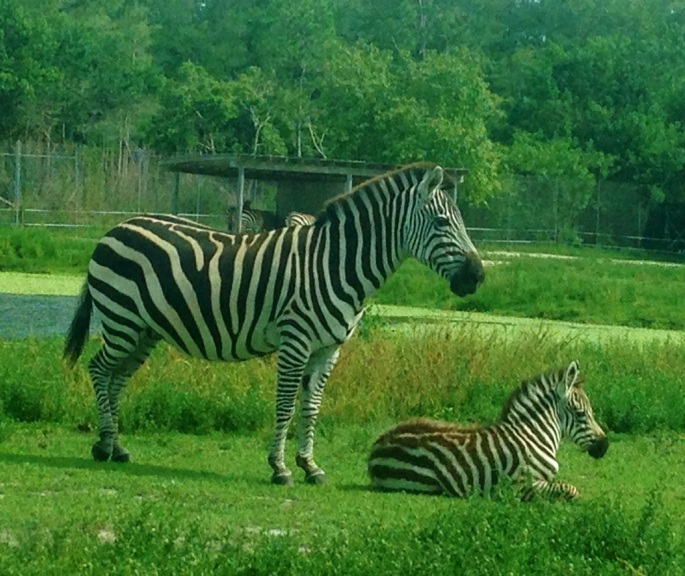 Check out this zebra with her baby we saw while driving through the Lion Country Safari.  It is priceless.