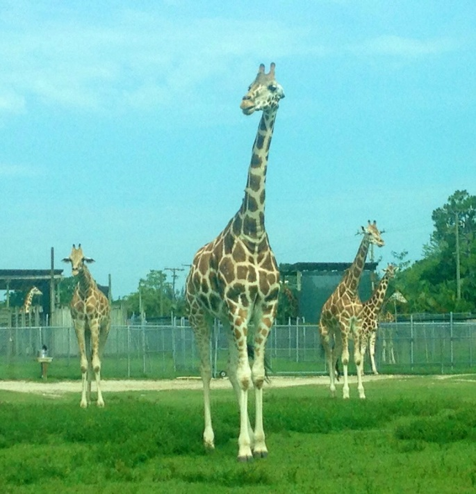 Incredible views of wildlife abound when you take your car through Lion Country Safari.
