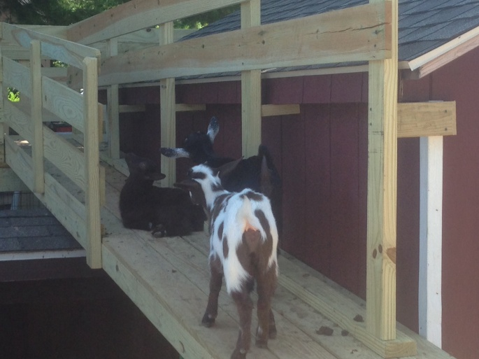 The baby goats were adorable at the Kitchen Kettle Village in Intercourse PA.