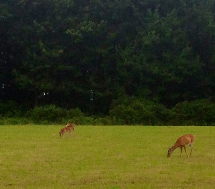 Yet another random finding along the back road of US 6 in Pennsylvania was this field with deer.